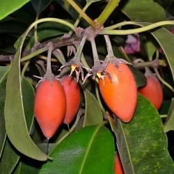 Sementes de Spanish cherry - Bakula 2.95 - 2