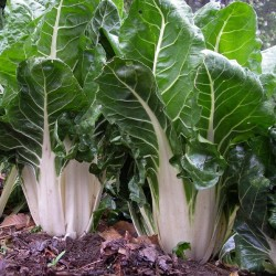 Swiss Chard Seeds 'White Silver' 1.45 - 2