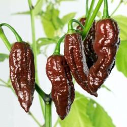 "Chili Seme ""FATALII Choco"" 2.5 - 2"