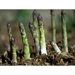 Semi Di Asparagus Officinalis 1.65 - 3