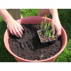 Spargel Samen - Asparagus officinalis 1.65 - 4
