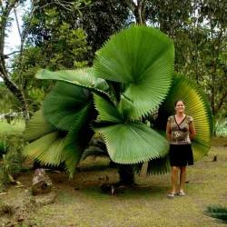 Sementes de Palmeira-Leque, Leque-Japonês (Licuala grandis) 3.8 - 1