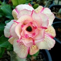 Sementes de Rosa-Do-Deserto 'Angle' 1.95 - 1