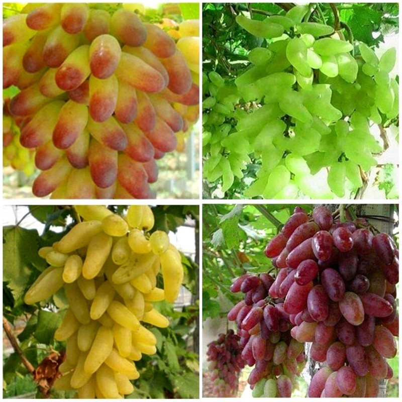 Finger Grape - Prsti Grozdje Seme 2.25 - 1