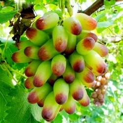 Finger Grape - Prsti Grozdje Seme 2.25 - 2