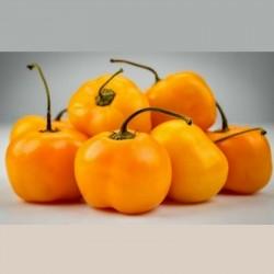 """Graines de Piment Jaune Doux """"Jelena"""" - gros fruits 1.75 - 1"""