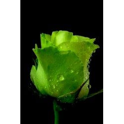 Grüne Rose Blumensamen Lover 's Geschenk