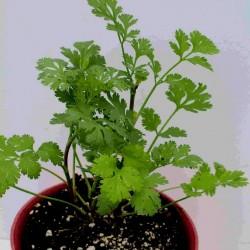 Кориа́ндр посевно́й семена (Coriándrum sátivum) 1.949999 - 2