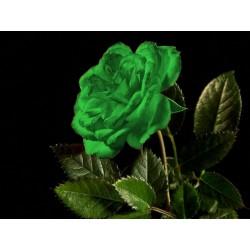 Zelena Ruza Seme