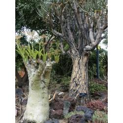 Drvo Grozdje Seme (Cyphostemma juttae) 7.5 - 5