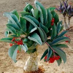 Sementes de Uva Da Namibia (Cyphostemma Juttae) 7.5 - 1