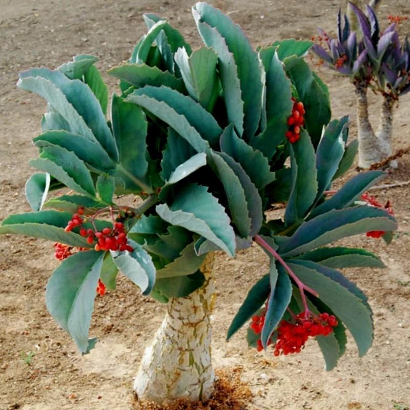Σπόροι cyphostemma juttae 7.5 - 1