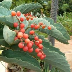Drvo Grozdje Seme (Cyphostemma juttae) 7.5 - 2