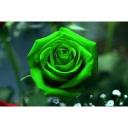 Σπόροι Πράσινο Rose - Τριαντάφυλλο
