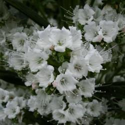 Semi di VIPERINA DI TENERIFE Bianco 2.5 - 2