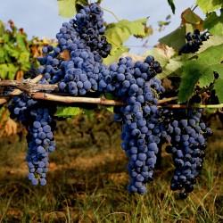 Sementes uva preta - o fruto da videira 1.55 - 2