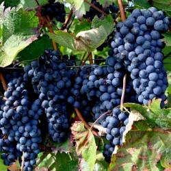 Black Grape Seeds (vitis vinifera) 1.55 - 3