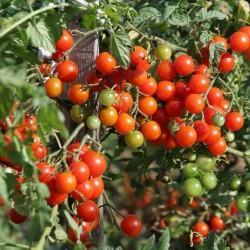 400+ Seeds Cherry Belle Tomato 5.5 - 2