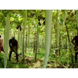 Semi di Zucca Lunghissima SERPENTE (Lagenaria siceraria) 2 - 3