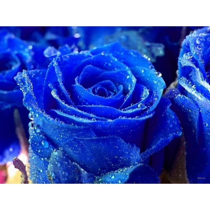 Japanska Plava Ruza Seme