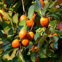 Semi di Americana Cachi (Diospyros virginiana) 3.5 - 3