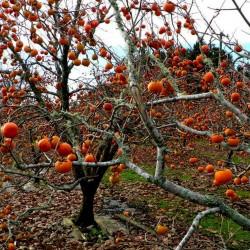 Sementes de American persimmon (Diospyros virginiana) 3.5 - 2