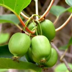 Graines Kiwai ou Kiwi de Sibérie (actinidia arguta) Rusticité -34C 1.5 - 2