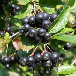 Chokeberry Seeds (Aronia melanocarpa) 2.25 - 2