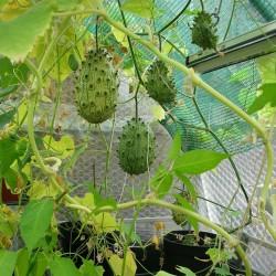Kiwano Samen Horngurke (Cucumis metuliferus) 2.15 - 2