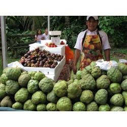 Cherimoya, Zucker Apfel Samen (Annona cherimola)  - 5
