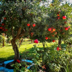 Pomegranate Seeds (Punica granatum)  - 1