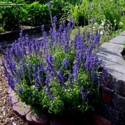 Semi di Salvia farinacea 'Victoria'  - 1
