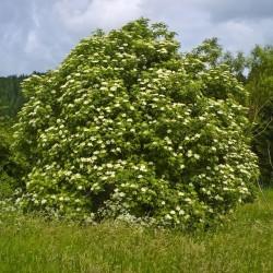 Semi di Sambuco Fiori (Sambucus nigra)  - 4