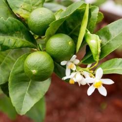 Persijska Limeta Seme (Citrus × latifolia)  - 1