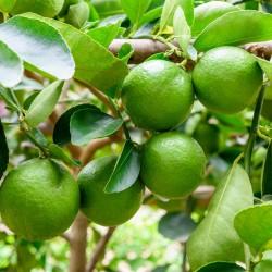Semi di limetta di Tahiti (Citrus × latifolia)  - 2