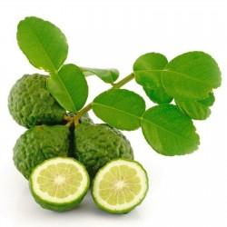 Sementes de Combava (Citrus hystrix)  - 2
