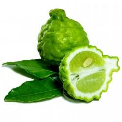Semi di Combava (Citrus hystrix)  - 1