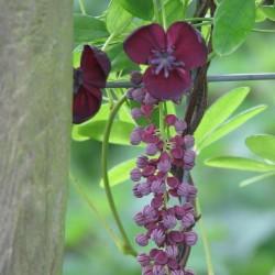 Sementes de Akebia Trifoliata Resistentes geada  - 5