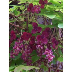 Semi di Akebia resistente al gelo -30C (Akebia trifoliata)  - 6