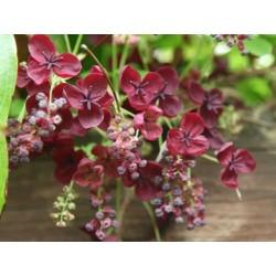 Threeleaf Akebia seeds (Akebia trifoliata)  - 7