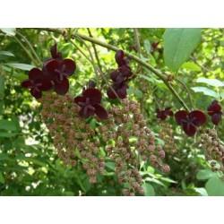 Sementes de Akebia Trifoliata Resistentes geada  - 8