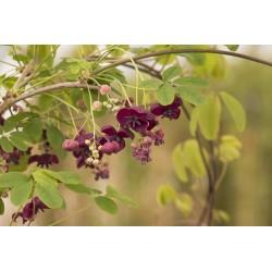 Sementes de Akebia Trifoliata Resistentes geada  - 9