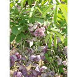 Semi di Akebia resistente al gelo -30C (Akebia trifoliata)  - 10