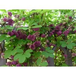 Sementes de Akebia Trifoliata Resistentes geada  - 11