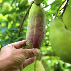 Threeleaf Akebia seeds (Akebia trifoliata)  - 13