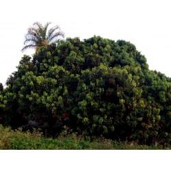 Litschibaum – Litchi Baum Samen (Litchi chinensis)  - 1