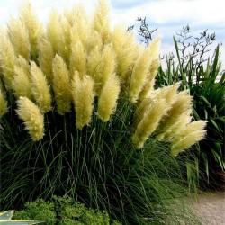 Semi Erba Pampas Grass Bianco (Cortaderia Selloana)  - 4