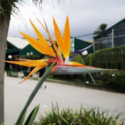 Sementes Da Flor Ave Do Paraíso (Strelitzia reginae)  - 6