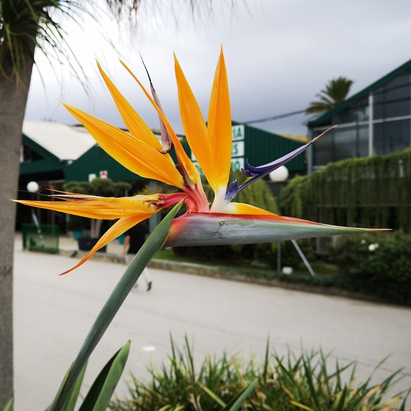 Orange Bird of Paradise Flower Seeds (Strelitzia reginae)  - 6