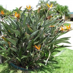 Orange Bird of Paradise Flower Seeds (Strelitzia reginae)  - 3